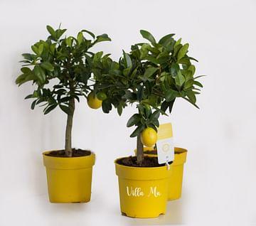 Лимонелла с плодами