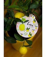 Лимонелла лимон Флоридана с плодами