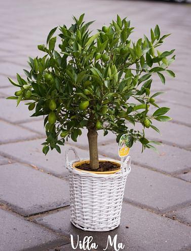 Лимонелла лимон Флоридана
