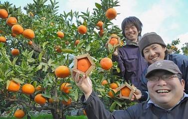 Мандарин японский Уншиу