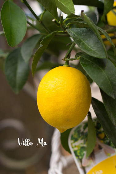 Лимон Мейера на штамбе