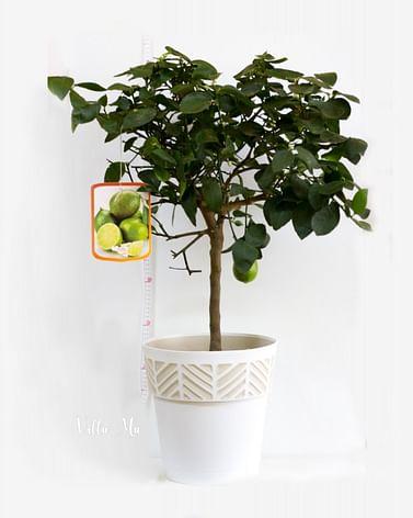 Лайм Персидский дерево