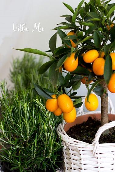 Кумкват на штамбе с плодами