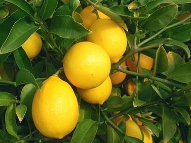 Лимон комнатный на решётке