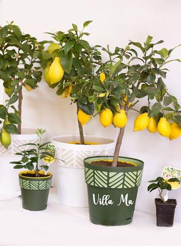 Лимон крупноплодный