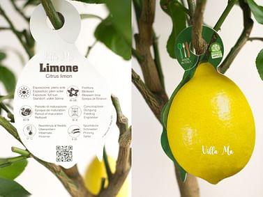 Лимон крупноплодный Миди