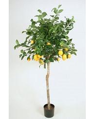 Лимон крупноплод. 180см на штамбе