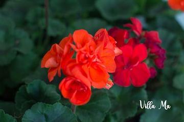 Пеларгония красная махровая