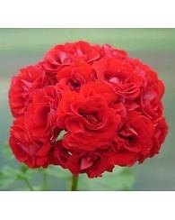 Пеларгония Ред рамблер розобутонная