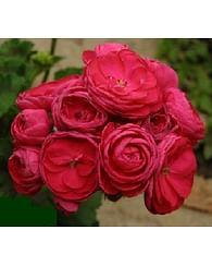 Пеларгония Розита розобутонная