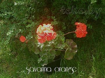 Пеларгония Саванна Оранж