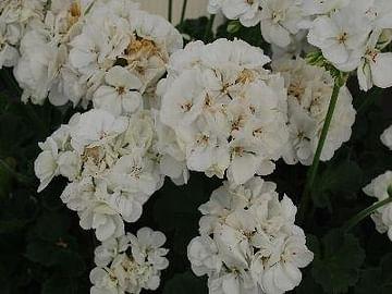 Пеларгония саванна уайт полумахровая