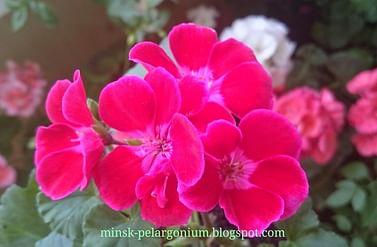 Пеларгония фловерс фэйри вельвет