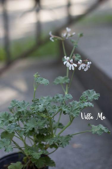 Пеларгония с ароматом Корица + мята душистая