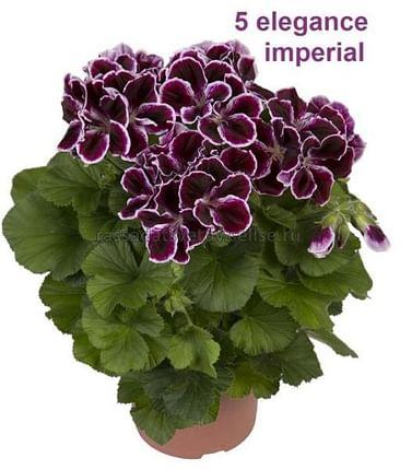 Пеларгония королевская Империал