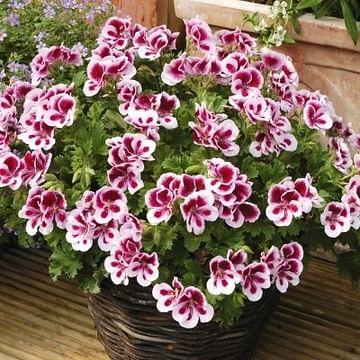 Пеларгония королевская Candy flowers bicolor