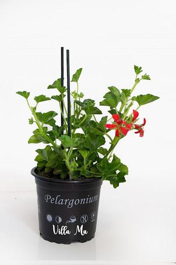 Пеларгония каскадная Декора Рот