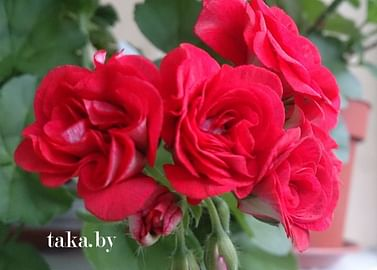 Пеларгония Ред сибил