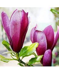 Магнолия розовая Суланжа