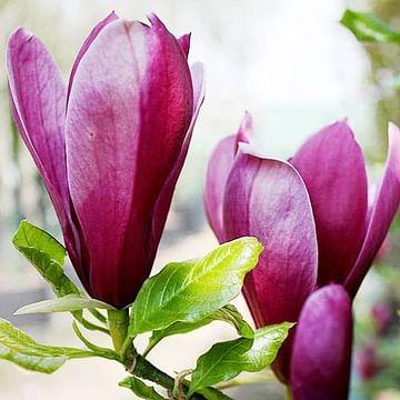 Магнолия розовая саженец