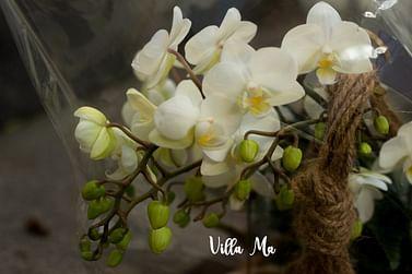 Орхидея XXL /кокедама/
