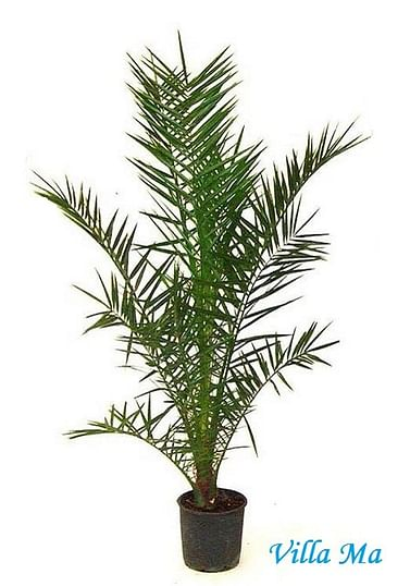 Пальма Феникс 150см