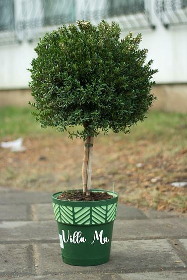 Миртовое дерево 100см