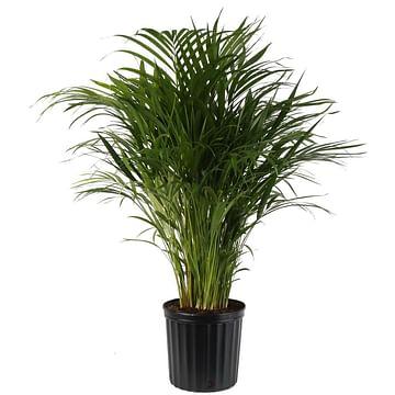 Пальма арека 150см