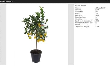 Лимонное дерево с плодами 180см