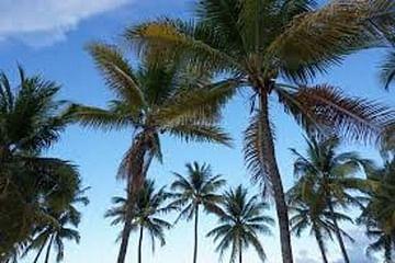 Финиковая пальма большая искусств.