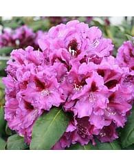 Рододендрон розовый