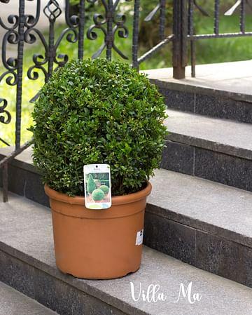 Самшит вечнозелёный большой шар
