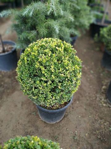 Самшит вечнозелёный с формированной кроной