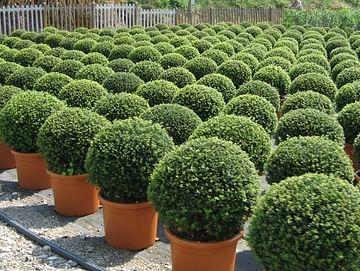 Самшит вечнозелёный комплект