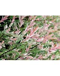 Ива бело-розовая Хакура нишики