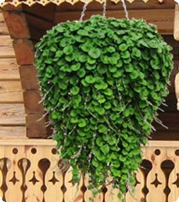 Дихондра зеленая