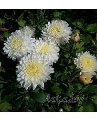 Хризантема низкорослая Уайт