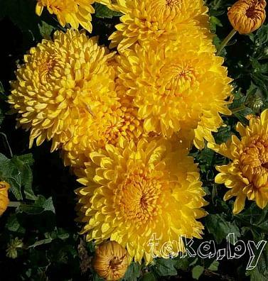 Хризантема крупноцветковая Солнечная