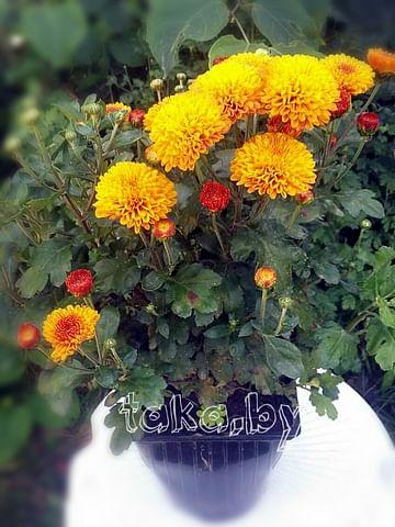 Хризантема низкорослая Оранж