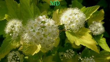 Пузыреплодник золотолистный Люциус голд