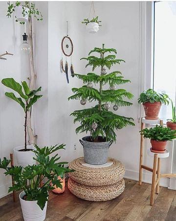 Араукария комнатная ёлка
