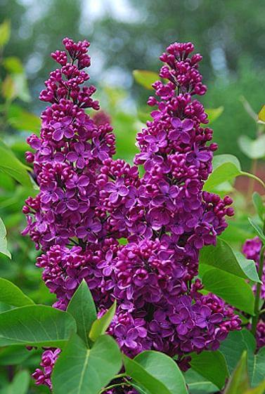 Сирень пурпурная
