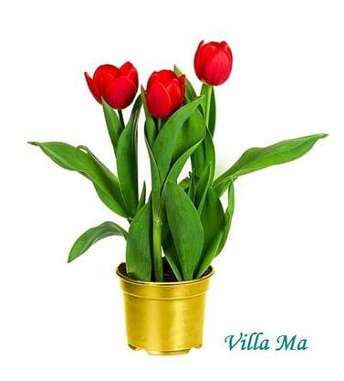 Тюльпаны в горшке Елоу Бэби