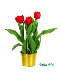 Тюльпаны ABBA -Букет в горшке