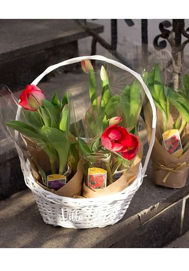 Тюльпаны Бокал -Букет в горшке