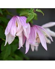 Клематис княжик розовый Орхид