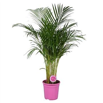 Пальма арека 120см