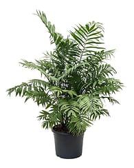 Пальма хомедорея
