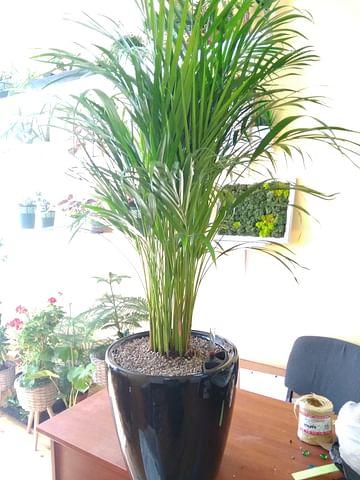 Пальма 120см арека