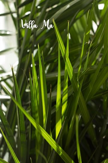 Пальма 150см Феникс
